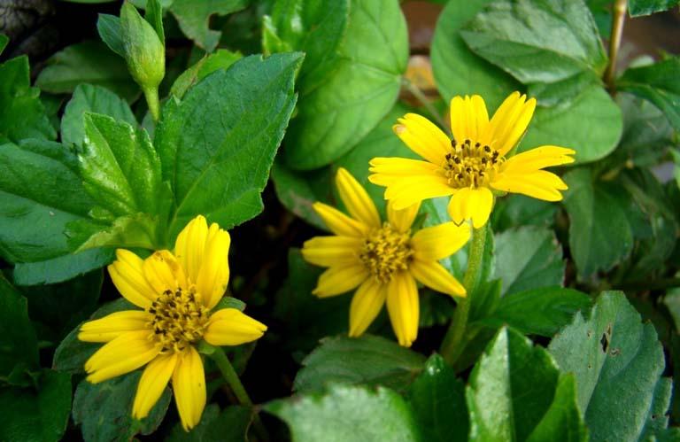 Cây sài đất có công dụng chống viêm và kháng khuẩn tốt