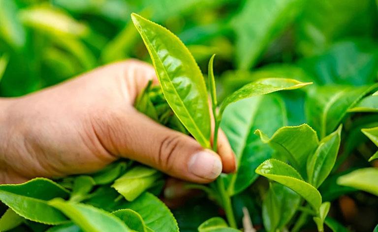 Uống nước lá chè xanh kết hợp với đắp ngoài giúp đẩy nhanh tốc độ trị bệnh