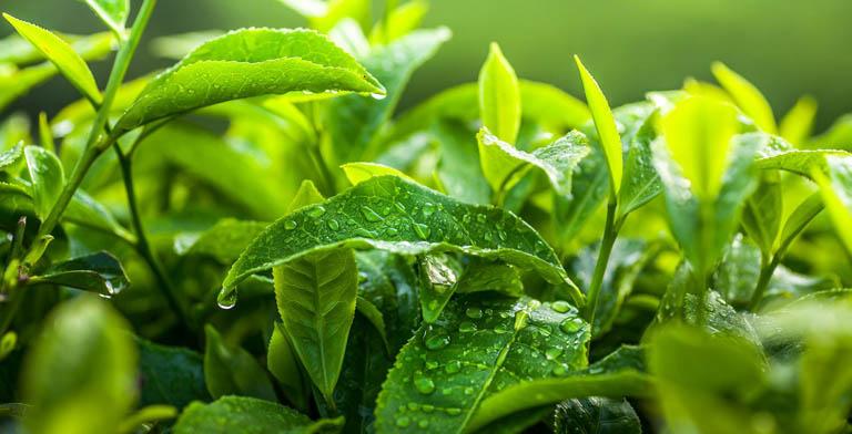 Tận dụng lá chè xanh để cải thiện các triệu chứng do bệnh gây ra