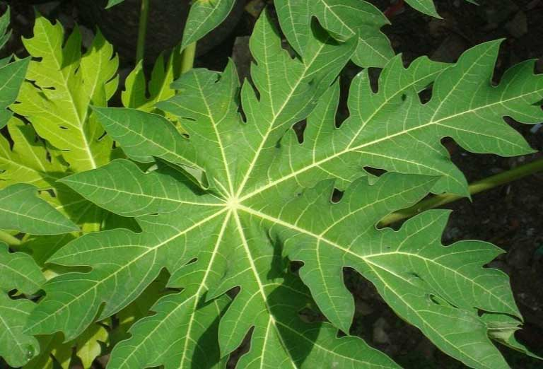 Dùng lá đu đủ chữa viêm da cơ địa có thể thực hiện bằng nhiều cách khác nhau