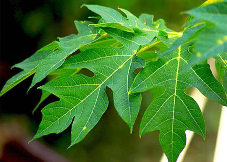 Nên dùng lá đu đủ tươi, không bị nhiễm chất hóa học để trị bệnh
