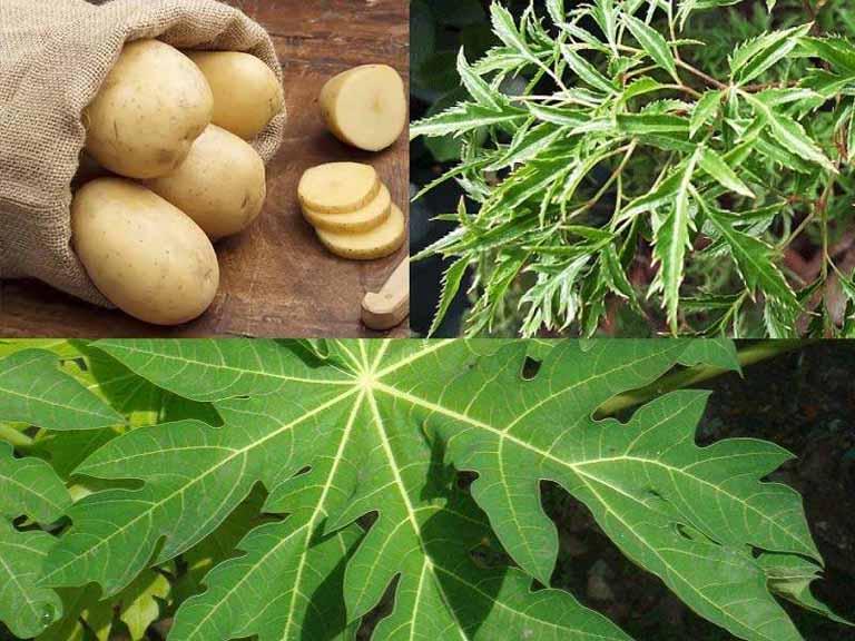 Kết hợp lá đu đủ với lá đinh lăng và khoai tây để trị bệnh tại nhà