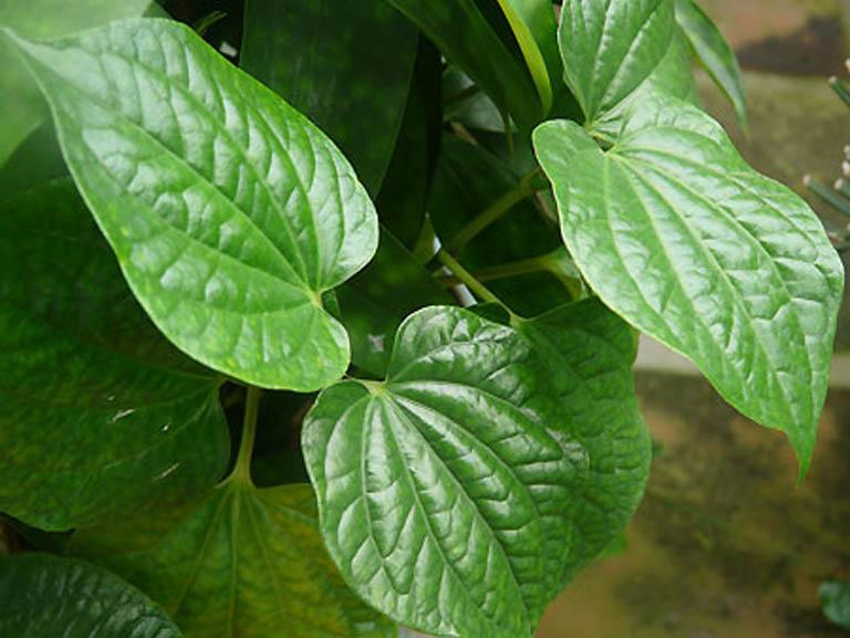 Nên dùng lá lốt có sẵn trong vườn nhà để trị bệnh viêm da cơ địa