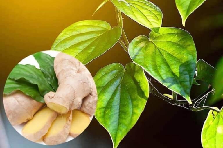 Gừng tươi và lá trầu giúp diệt khuẩn, kháng viêm