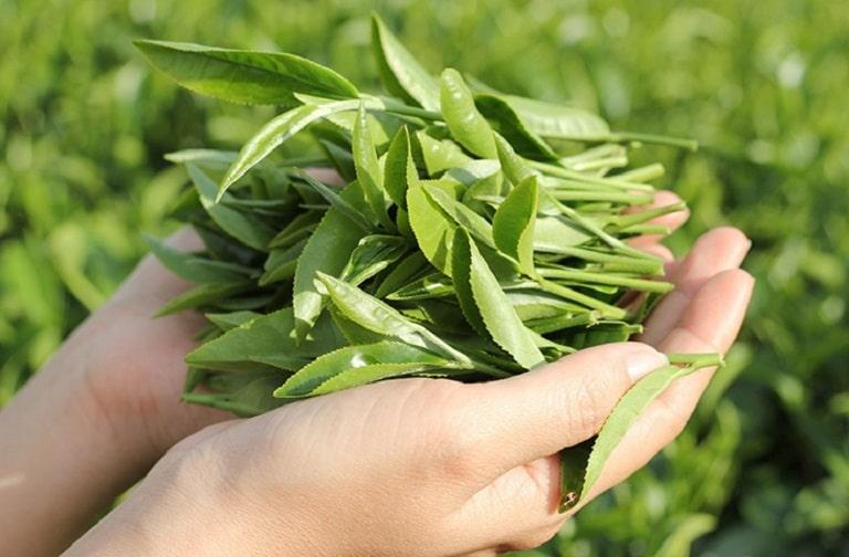 Lá chè xanh sở hữu đặc tính kháng viêm, diệt khuẩn vùng kín cực tốt