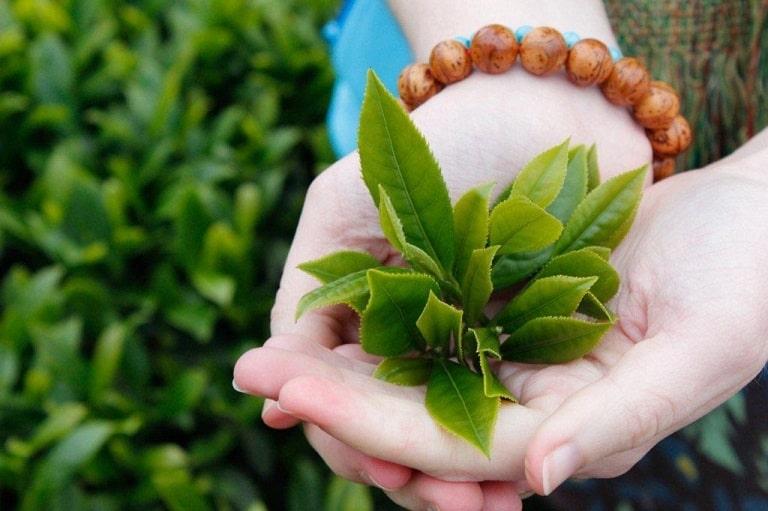 Lá chè xanh có tác dụng kháng viêm, diệt khuẩn giúp điều trị nhiều bệnh lý phụ khoa