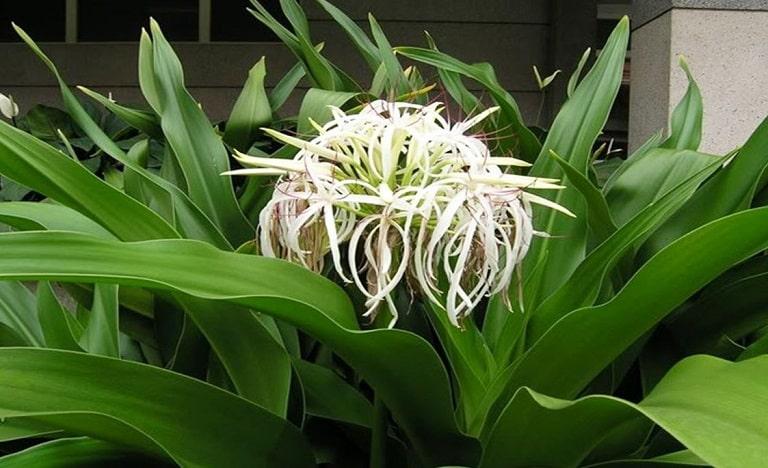 Cây trinh nữ hoàng cung thường được Đông y áp dụng trong các bài thuốc chữa viêm nhiễm phụ khoa