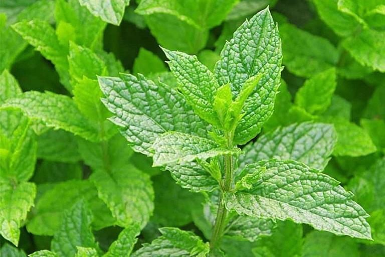 Bạc hà là nguyên liệu thường được sử dụng trong các bài thuốc Đông y điều trị bệnh viêm xoang