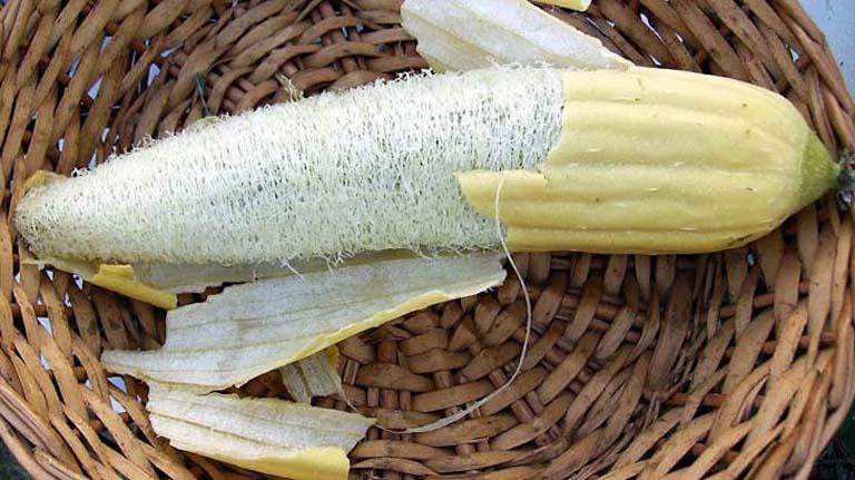 Dùng xơ quả phơi khô rồi tán thành bột mịn để chữa bệnh nhanh chóng