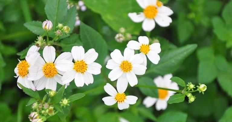 Dùng ngải cứu tươi kết hợp với các loại thảo dược khác như xuyến chi, hoa rum...